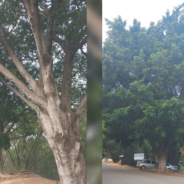Limeira passa a autorizar remoção de árvore considerada invasora com propagação prejudicial